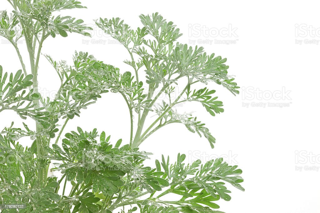 Artemisia absinthium (absinthium, absinthe wormwood, wormwood) stock photo