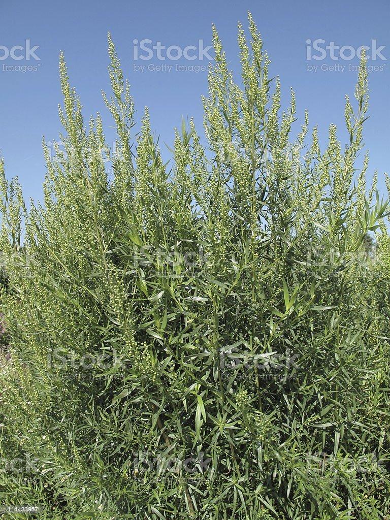 Artemisia dracunculus  - Tarragon royalty-free stock photo