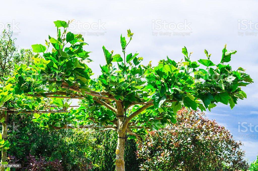 Artfully shaped Plane Tree stock photo