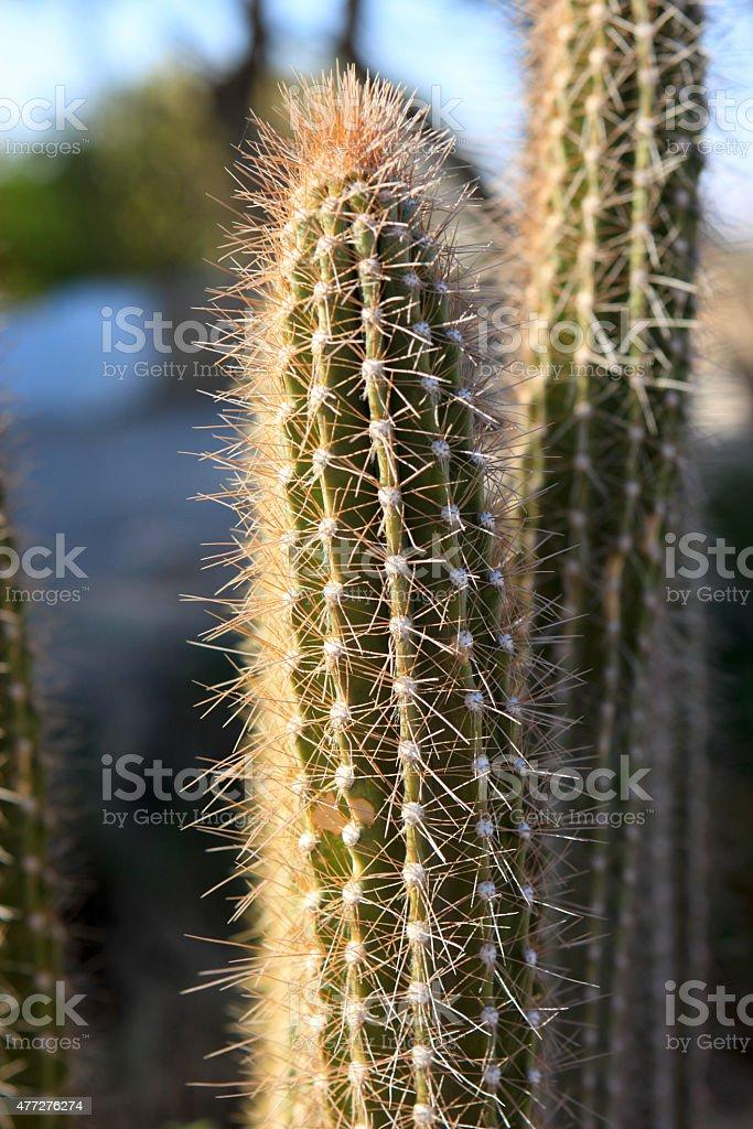 Arthrocereus rondonianus stock photo