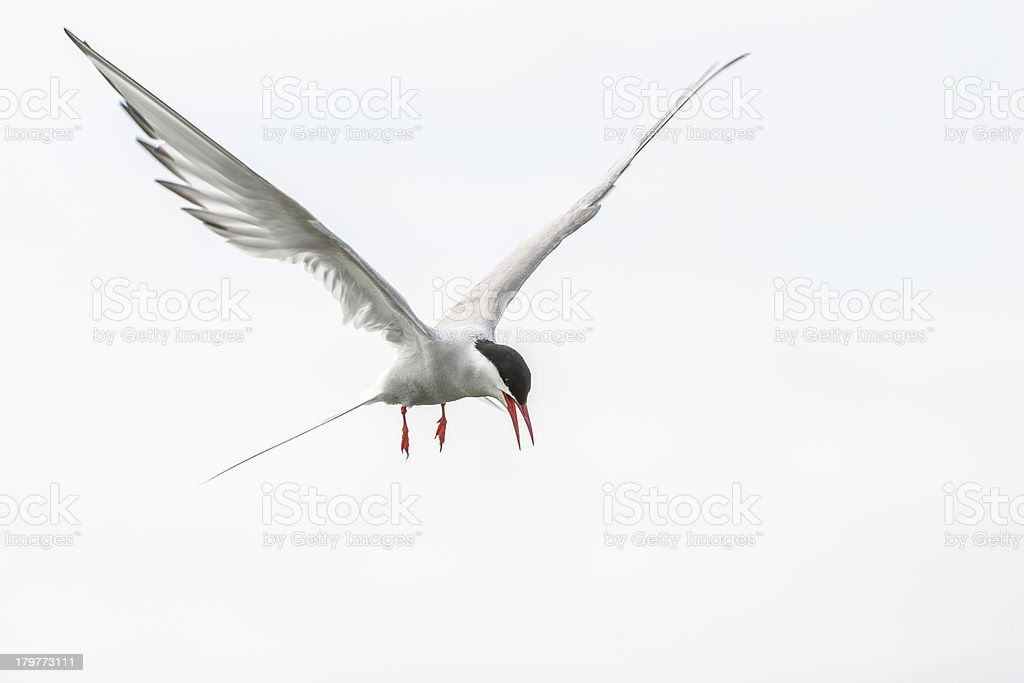 Artic tern attacking (Farne Islands, UK) stock photo