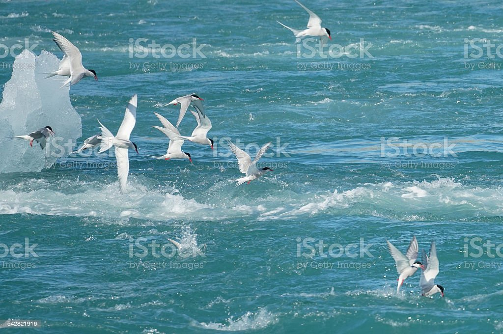Artic terns in feeding frenzy stock photo