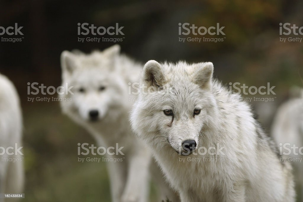 Artic Wolf Cub with Adult  (very shallow depth of field) stock photo