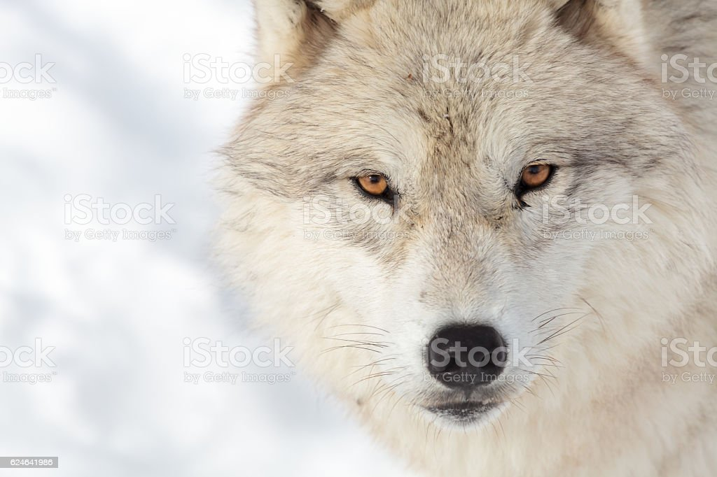 Artic wolf stock photo