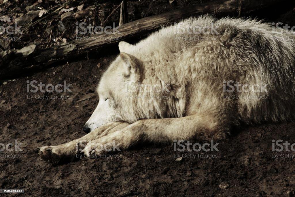 Artic wolf stock photo