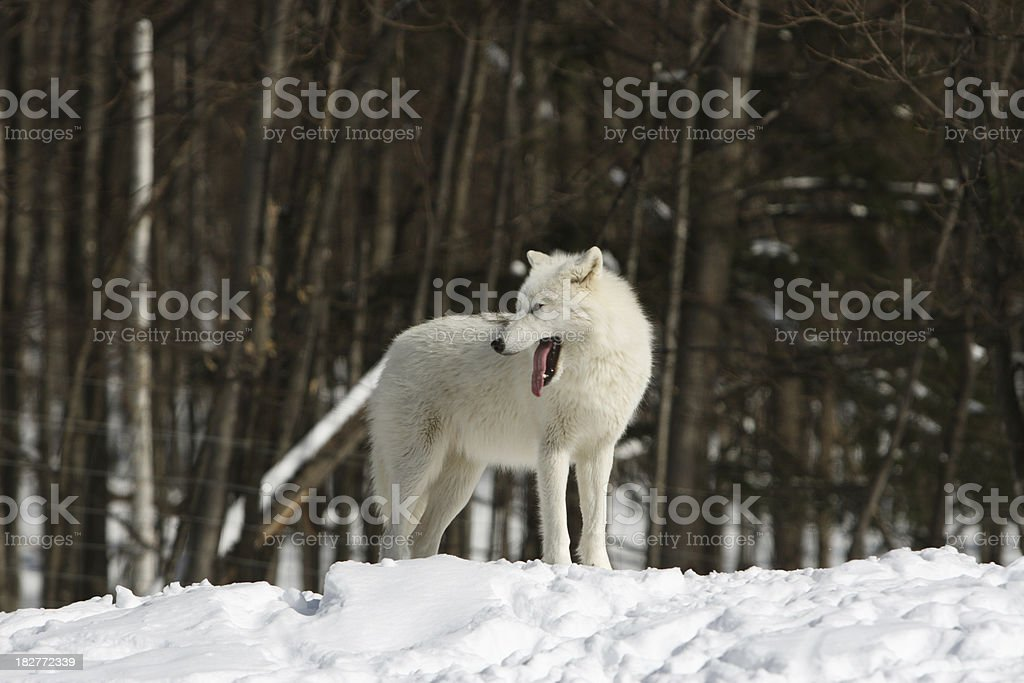Artic Wolf with Teeth Bared in Winter stock photo