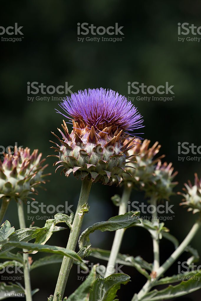 artichoke blossom stock photo