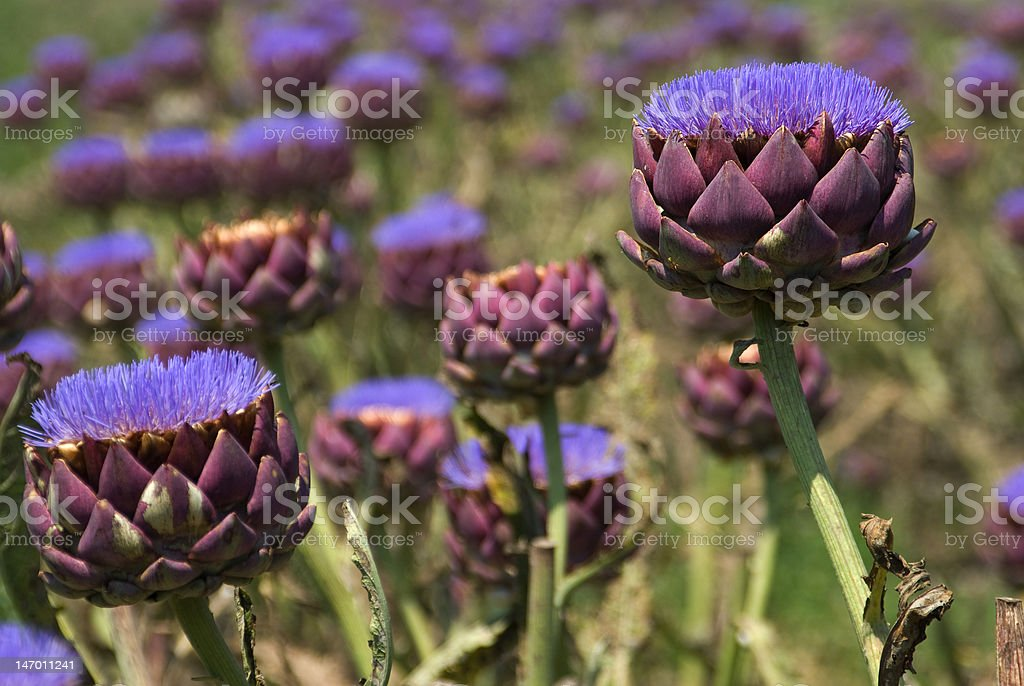 Artichoke field stock photo
