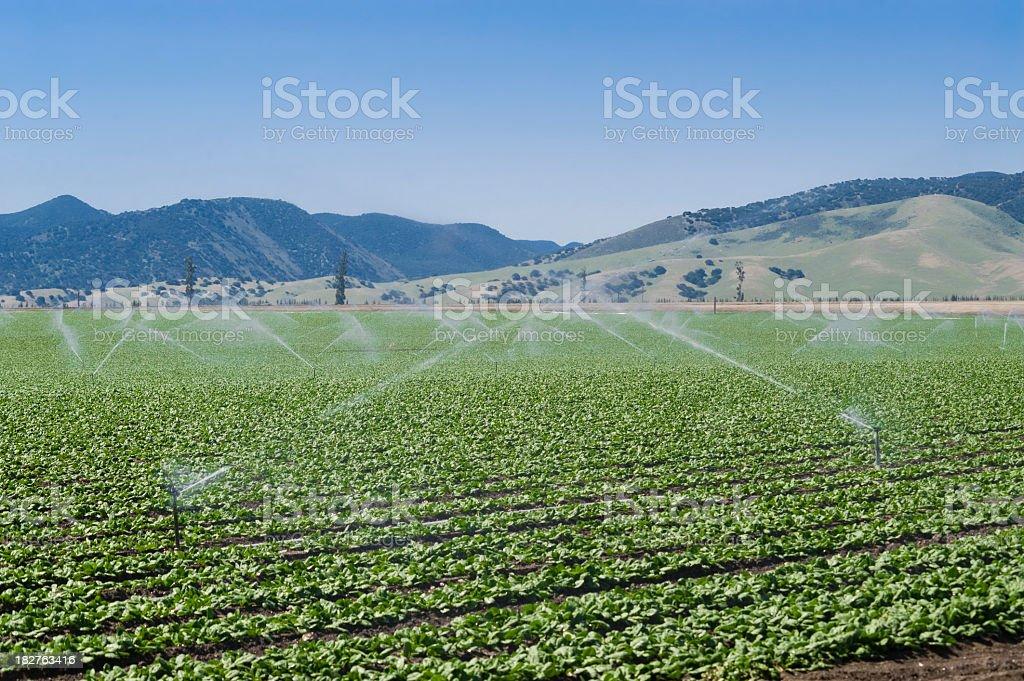 artichoke field royalty-free stock photo