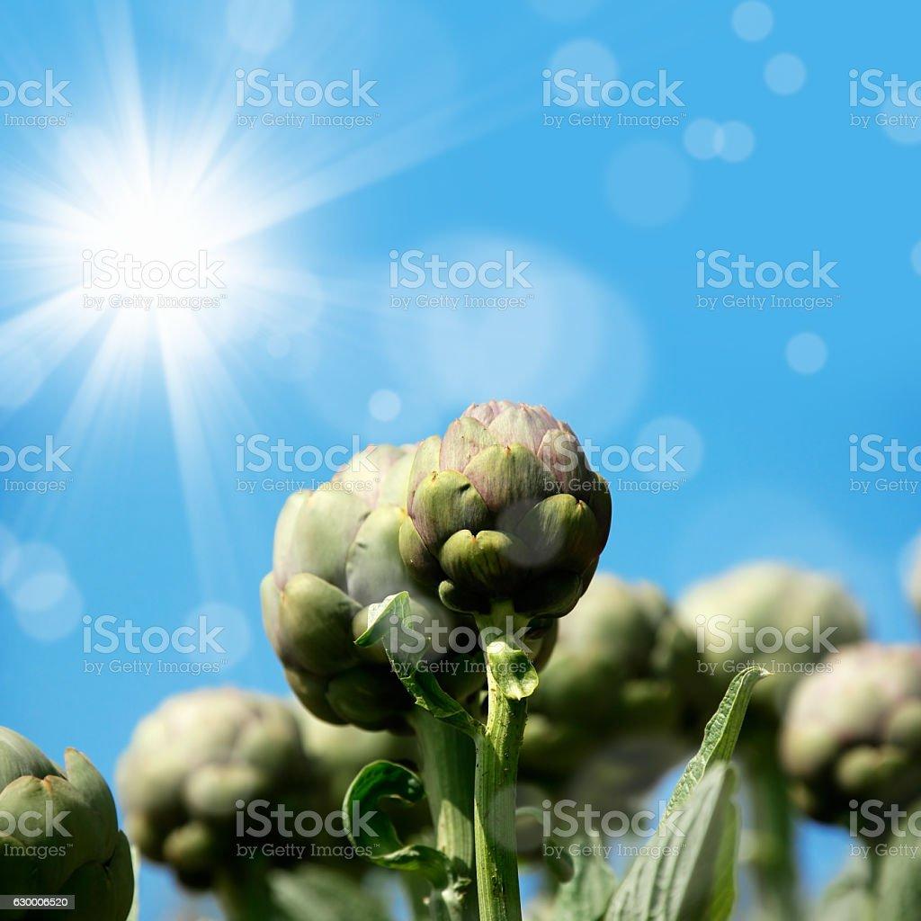 artichoke field stock photo