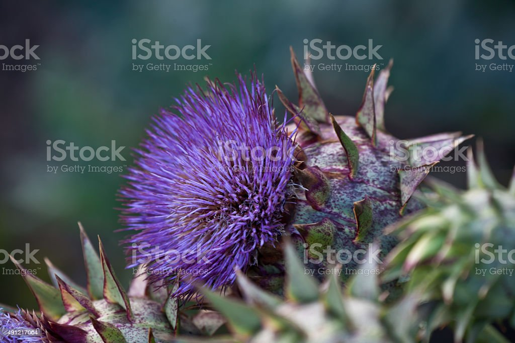 Artichoke flower close up stock photo