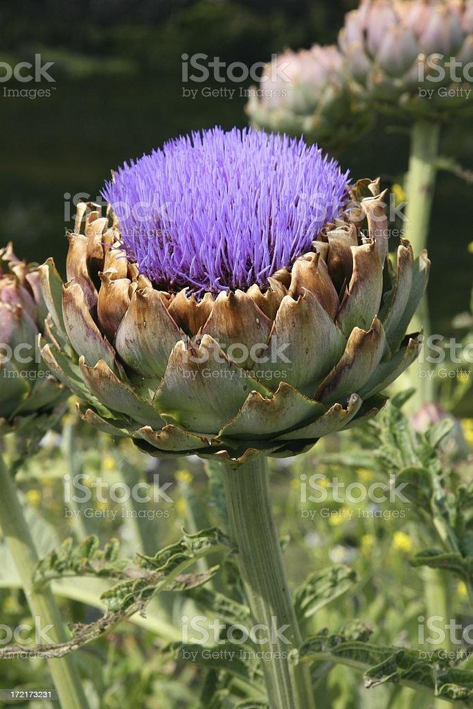 Artichoke flower royalty-free stock photo