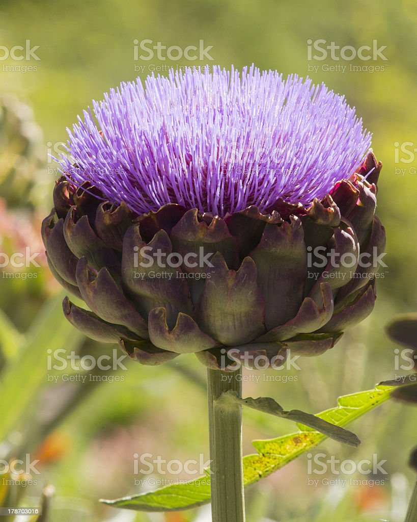 Artichoke Flower royalty-free stock photo