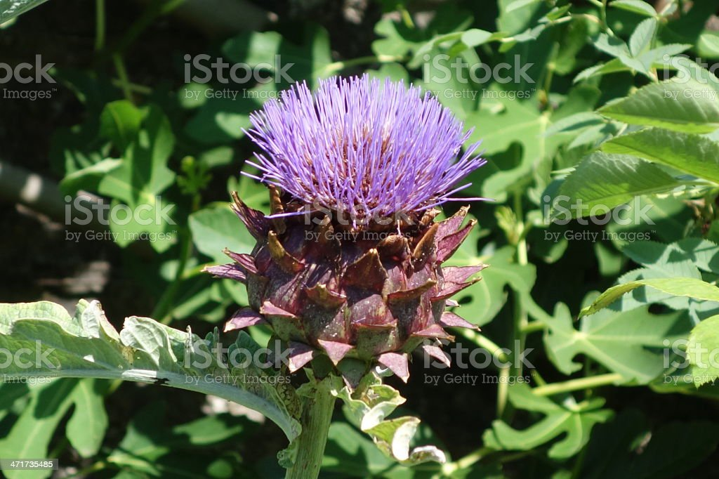 artichoke flower that looks like a thistle royalty-free stock photo