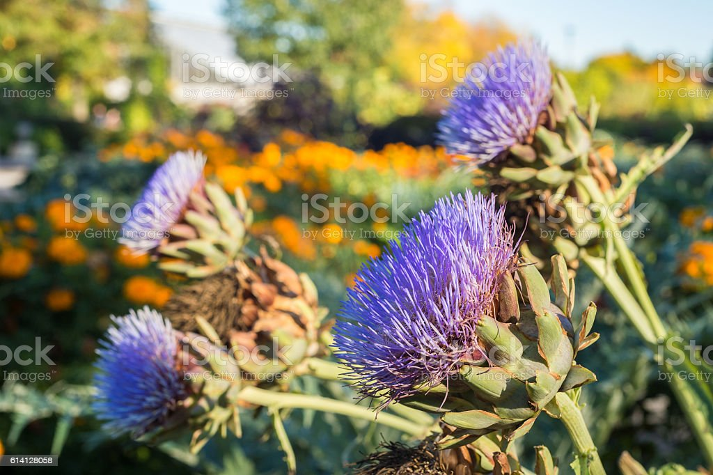 Artichoke flowers growing in the garden stock photo