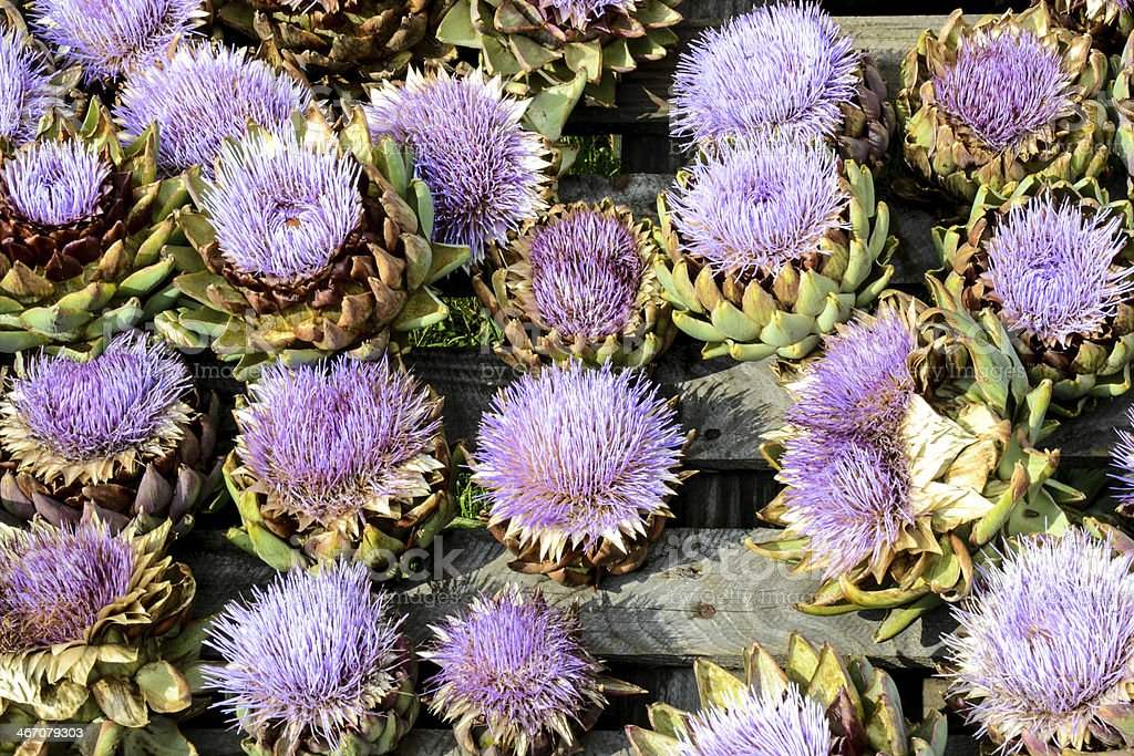 Artichoke Flowers - purple beauty royalty-free stock photo