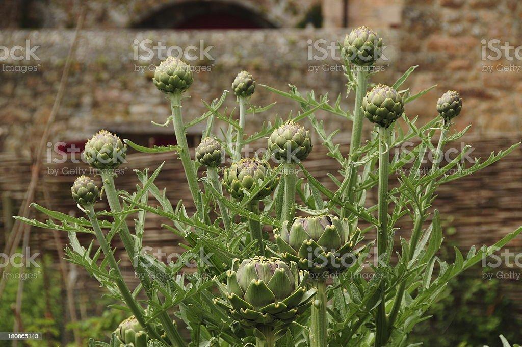 Artichoke globe plant, U.K. royalty-free stock photo