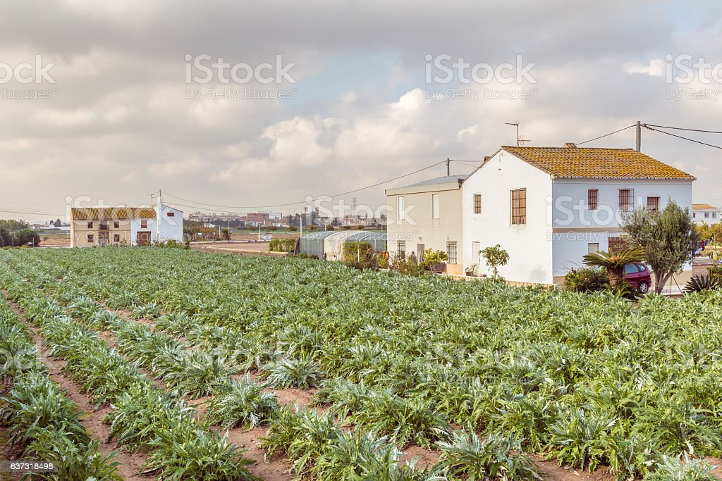 Artichokes field in Valencia in Spain Europe stock photo