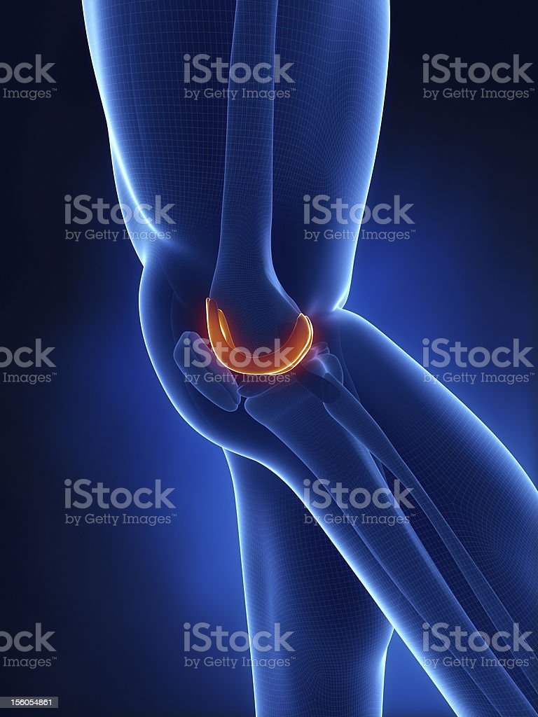 Articular cartilage anatomy lateral view stock photo