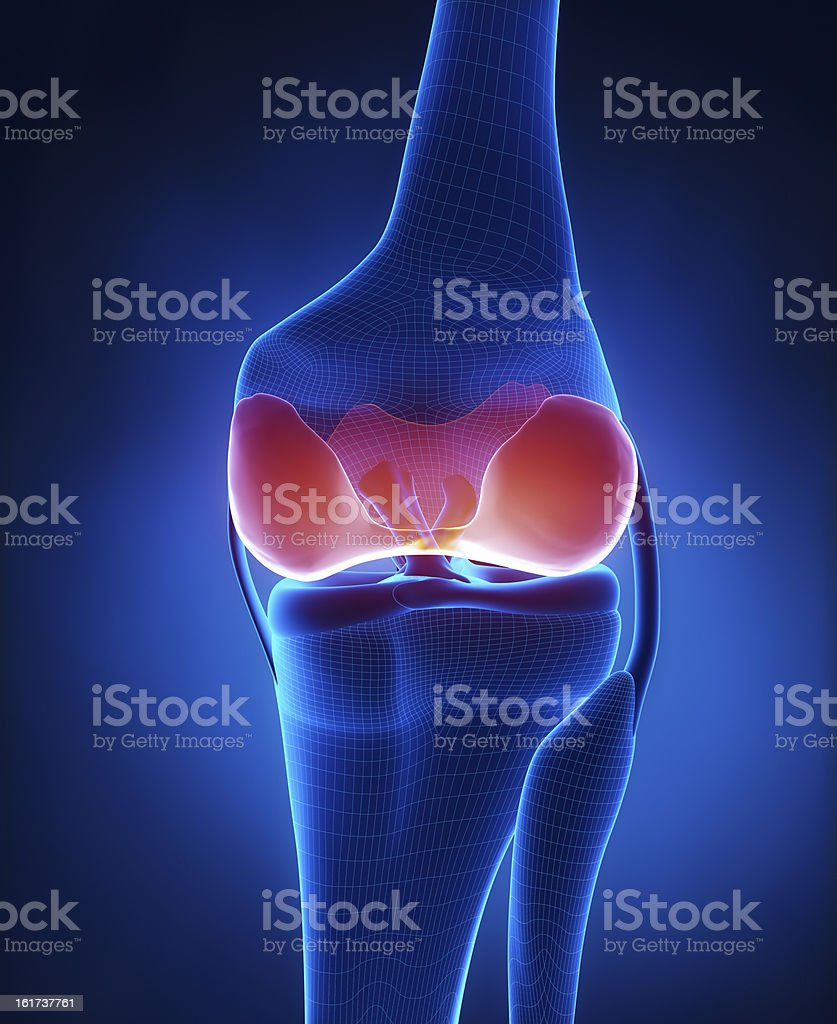 Articular cartilage anatomy posterior view stock photo