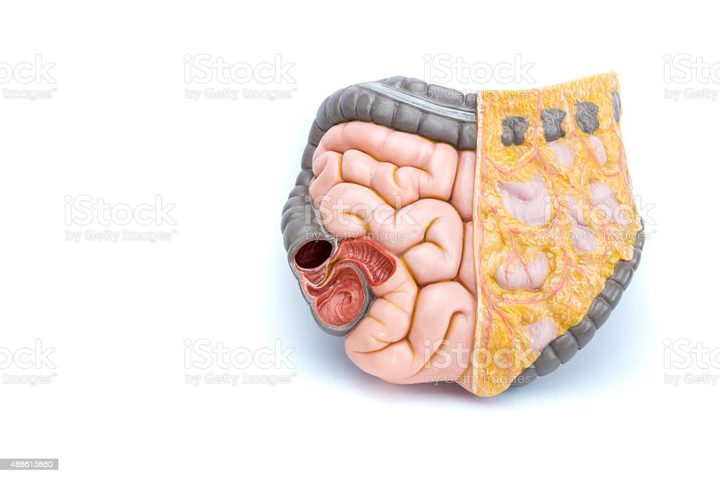 Artificial model of human intestines stock photo