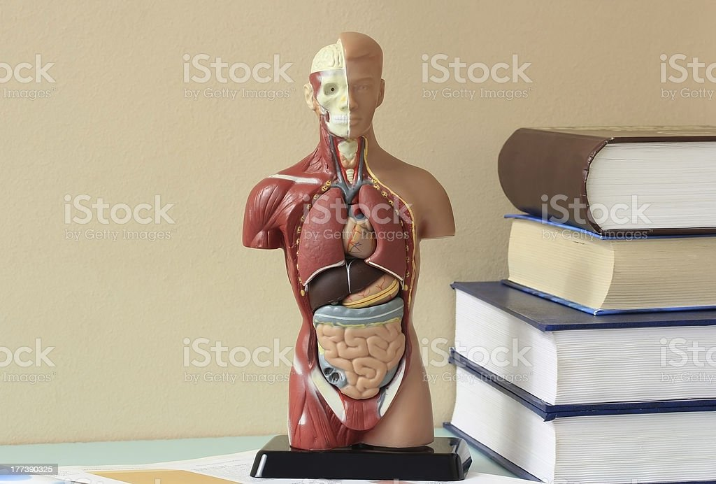Artificial Model  of the human body. stock photo