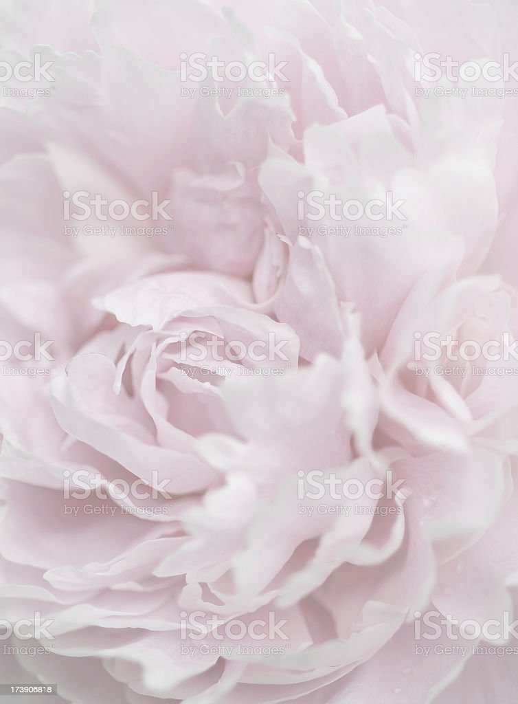Artistic close-up of a pale pink peony stock photo