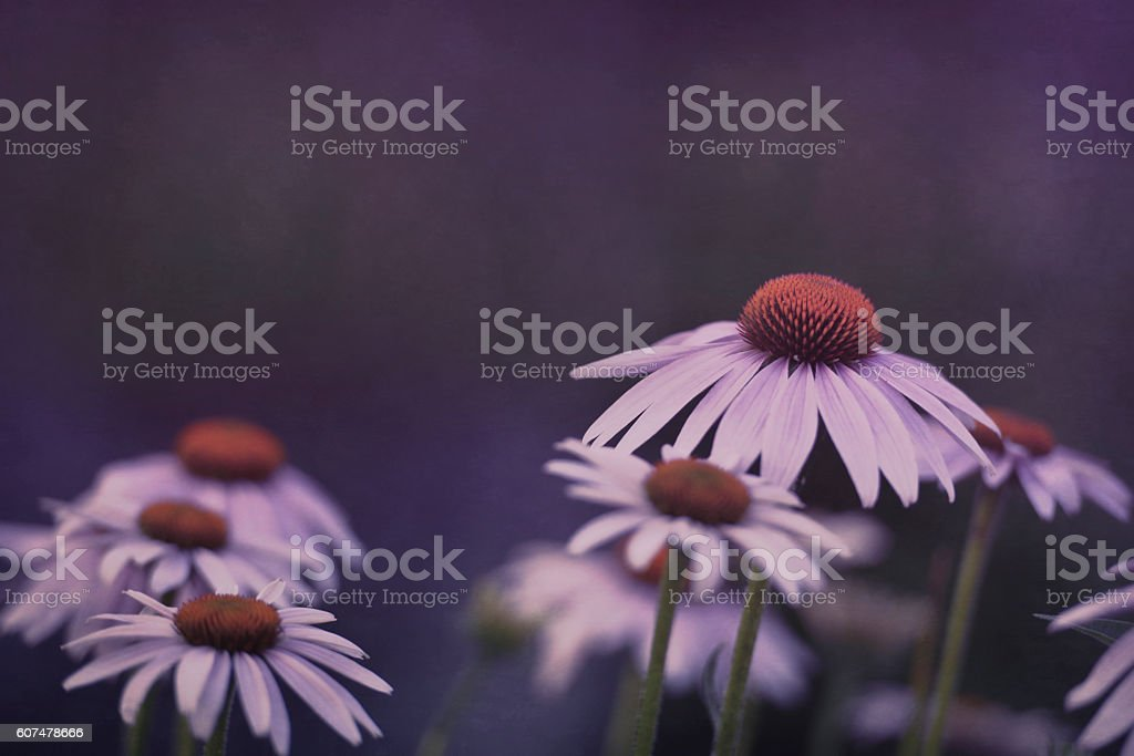 Artistic composition garden echinacea flowers, textured composition stock photo