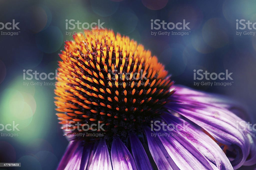 Artistic effect - echinacea flower royalty-free stock photo