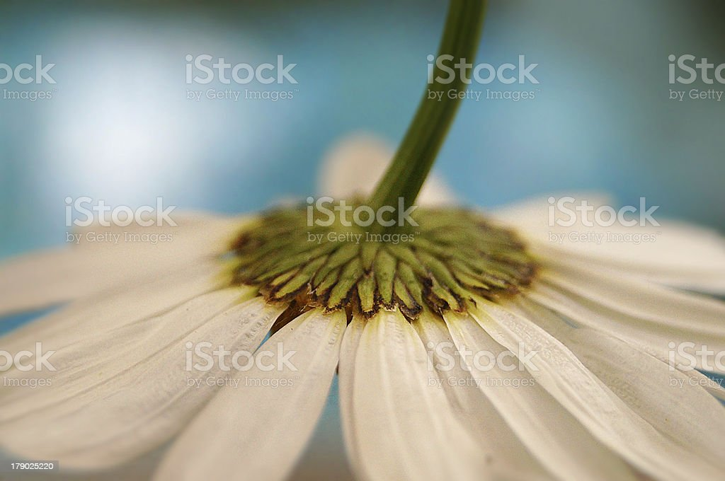 Artistic macro of a daisy flower royalty-free stock photo