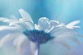 Artistic macro of daisy flower, blue shade