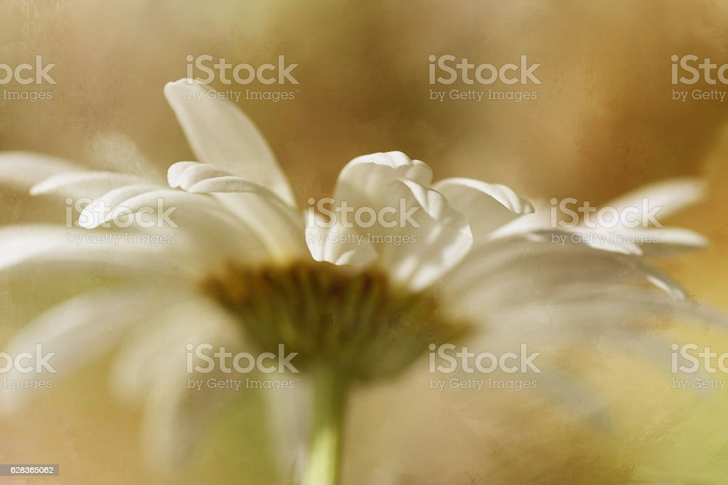 Artistic romantic macro of daisy flower stock photo