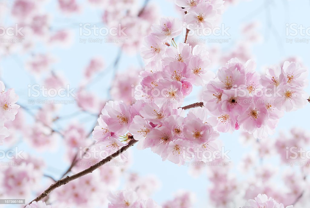 Artistic shot of cherry blossom, with blurred background stock photo