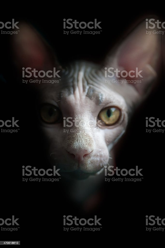 Artístico Sphynx Retrato de gato. Fundo preto foto royalty-free