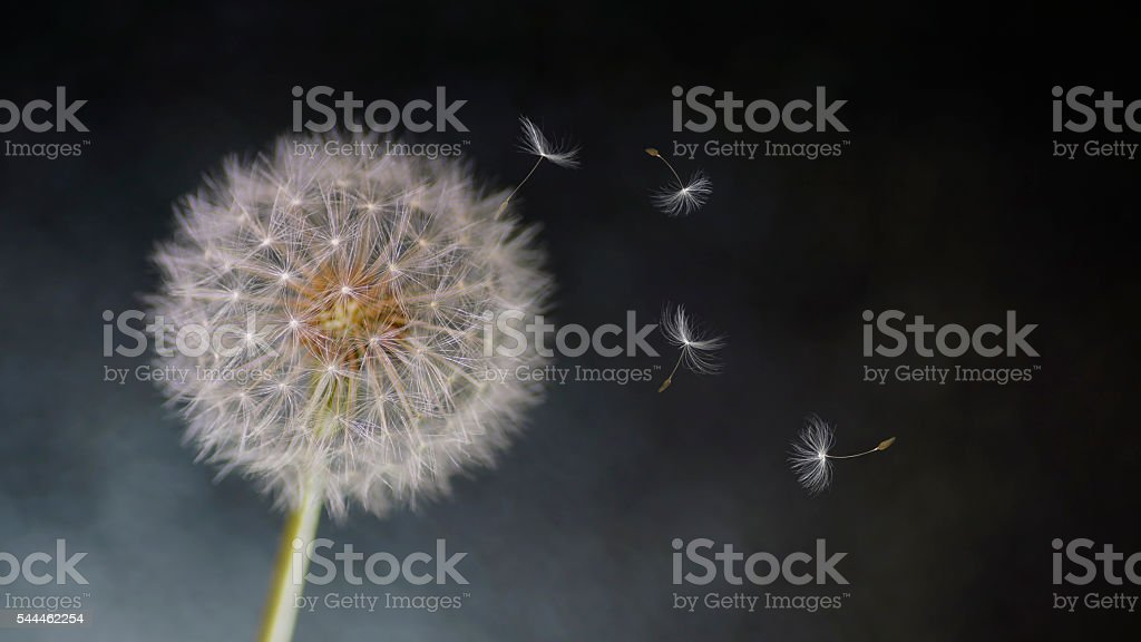 Artistic Textured composition Wind Blowing fluffy Dandelion seeds stock photo