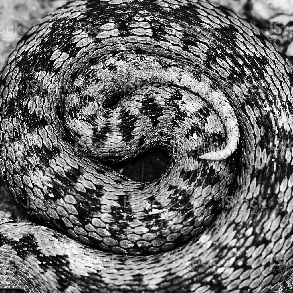 artistic view of Vipera berus pattern stock photo