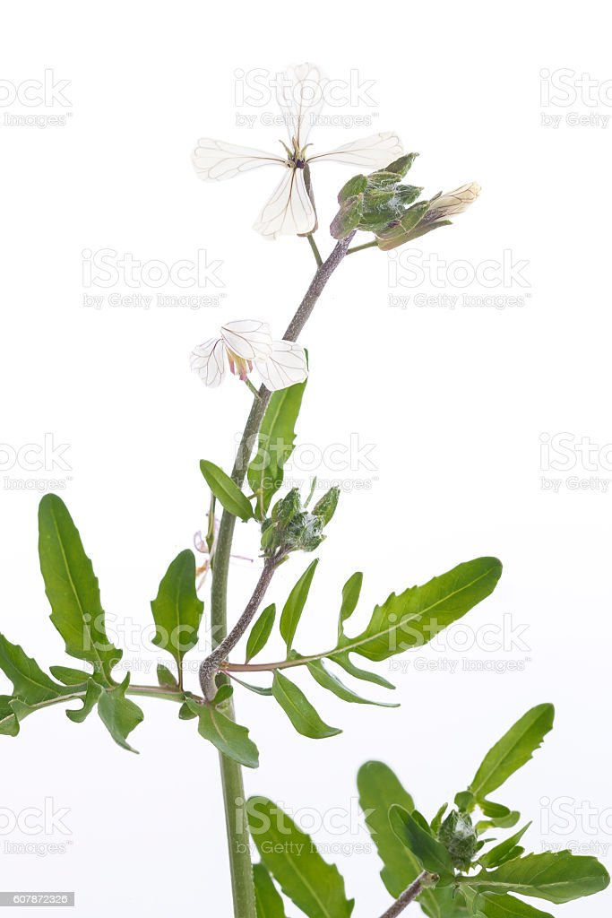 Arugula or Rucola flowers blooming stock photo