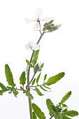 Arugula or Rucola flowers blooming