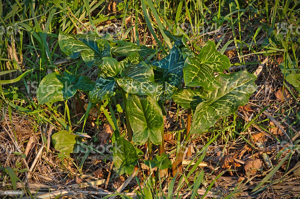 Arum maculatum stock photo