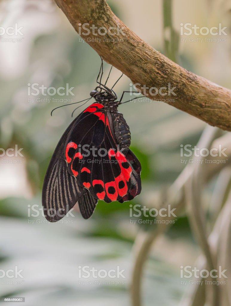 Arunachal Pradesh Butterfly stock photo