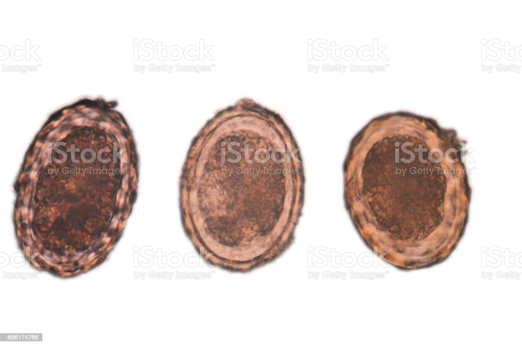 ascaris egg stock photo