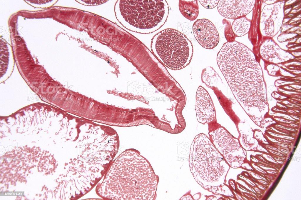 Ascaris Nematode Roundworm TS royalty-free stock photo