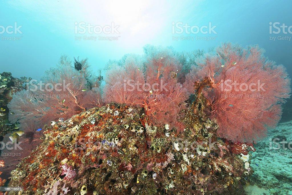 Ascidian Paradise, Beautiful Gorgonian Sea Fan, Cenderawasih Bay, Papua, Indonesia stock photo