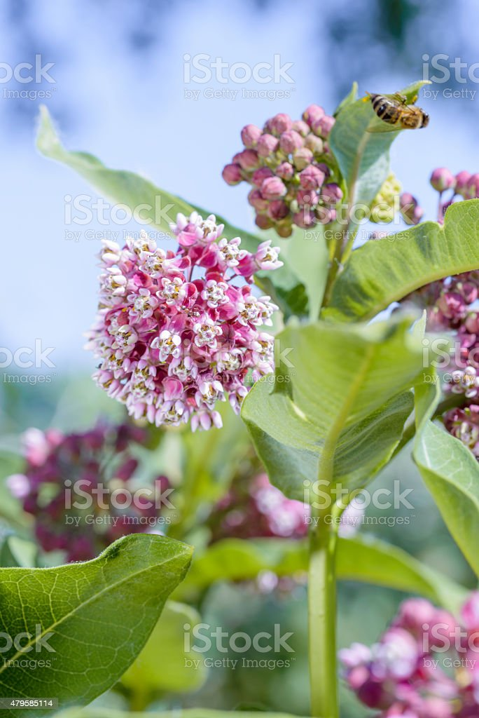 Asclepias Flower stock photo