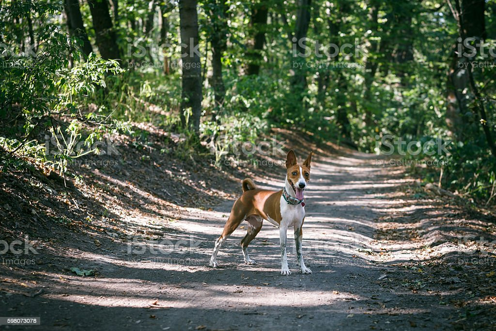 asenji dog on a forest road stock photo