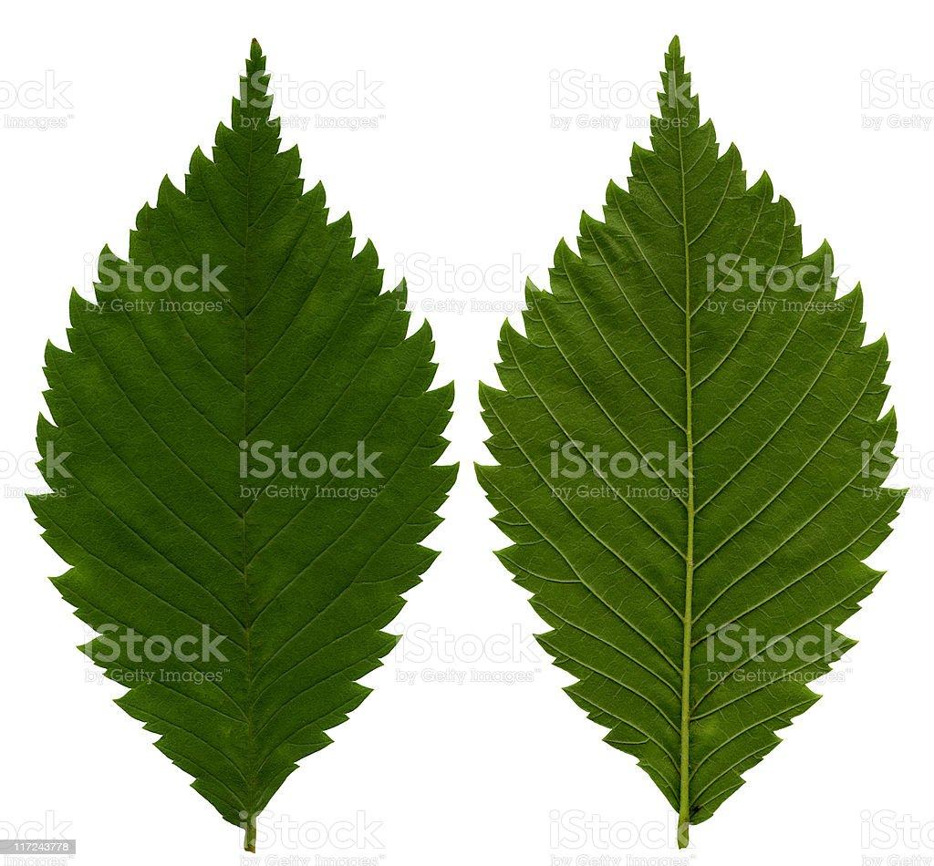 Ash Leaf texture XXL stock photo