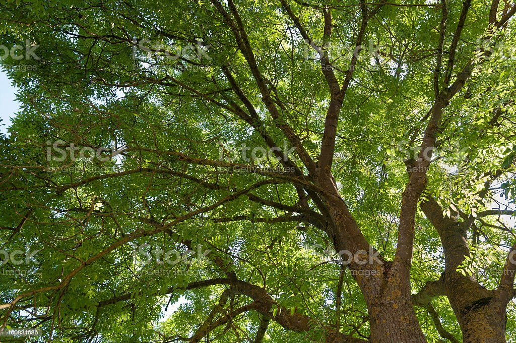 Ash (Fraxinus excelsior) stock photo