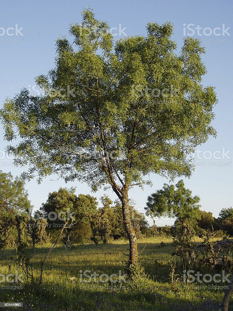 ash royalty-free stock photo