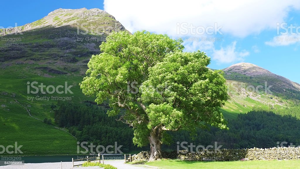 Ash Tree at Buttermere stock photo