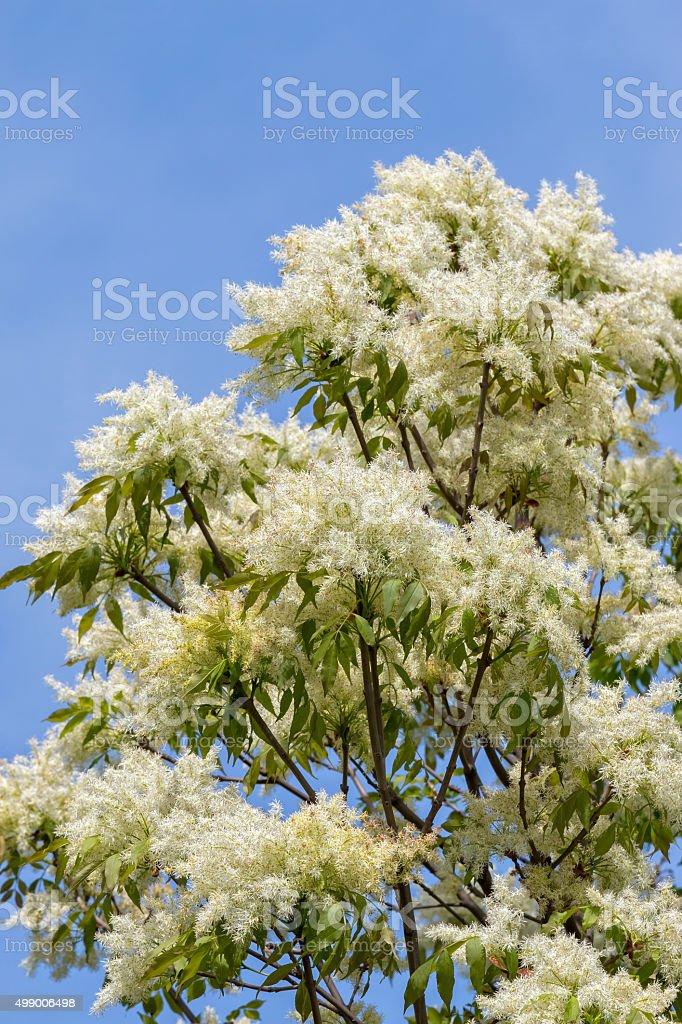 Ash tree flowers stock photo